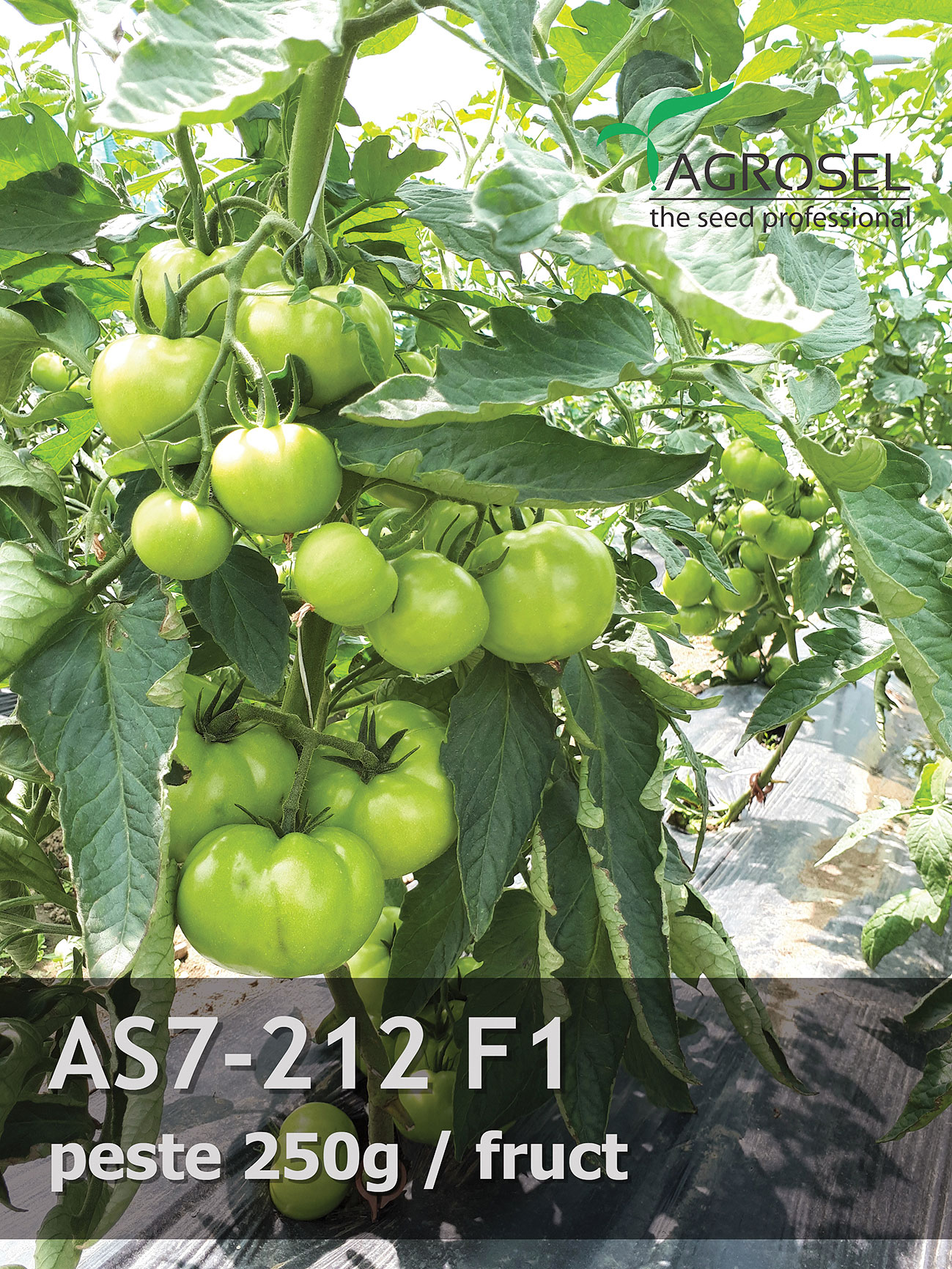 hibrizi tomate AS7 212F1
