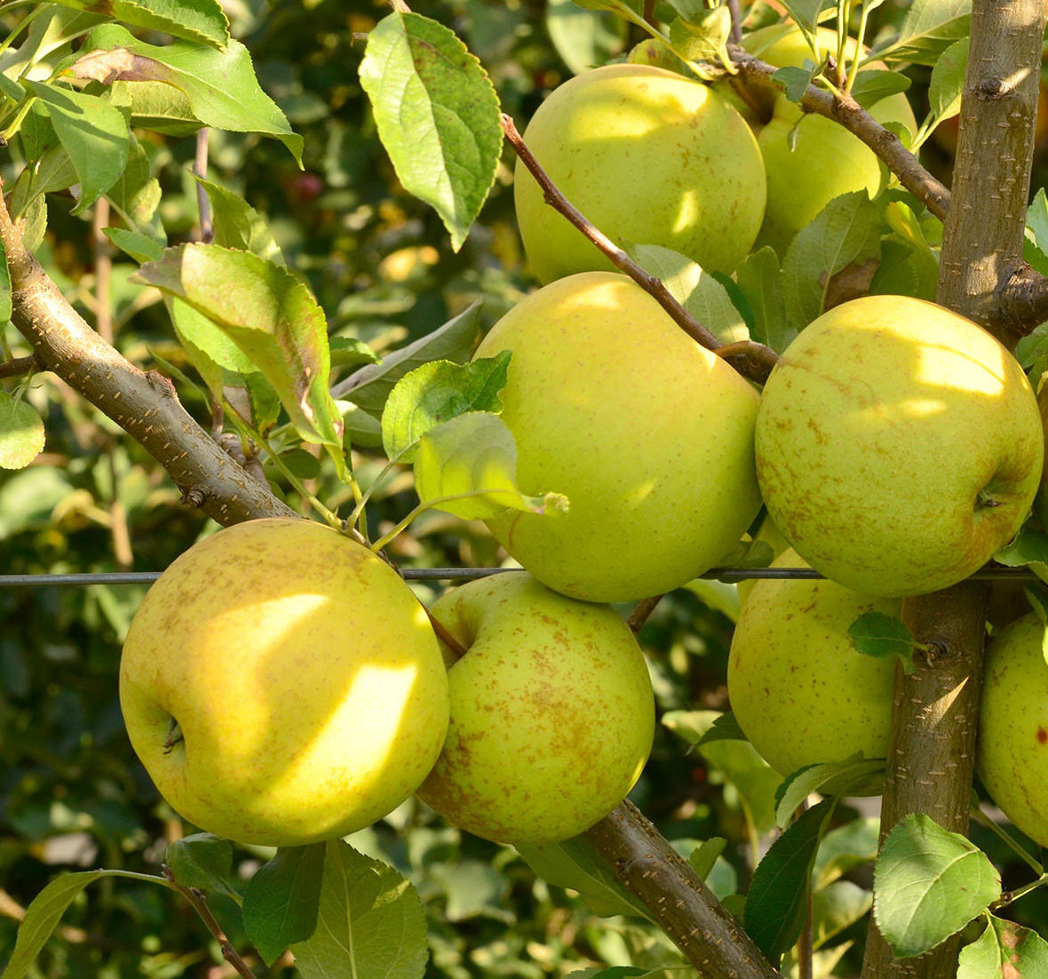 mar golden delicious