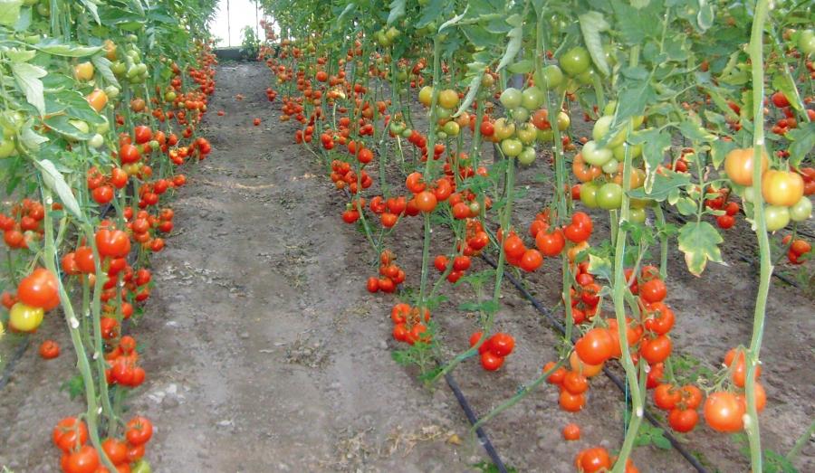 cultivarea rosiilor in solar video