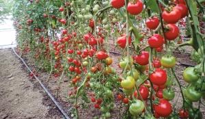 tomatele beneficiază de pierdere în greutate)